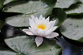 Nymphaea.Water-lily.