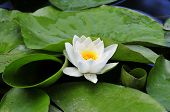 Nymphaea.Water- lily.