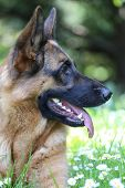 German Shepherd - portrait