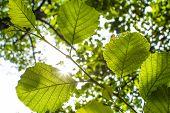 Fresh Leaves in the Sunlight