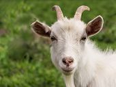 picture of goat horns  - White goat with horns and a beard closeup - JPG