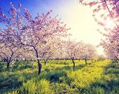 Blossoming apple orchard in spring and blue sky. Retro filtered. Instagram effect. Ukraine, Europe.