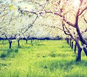 Blossoming apple orchard in spring. Retro filtered. Instagram effect. Ukraine, Europe. Beauty world.