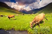 Cows grazing on a alpine meadow at the foot of  Mt. Shkhara. Upper Svaneti, Georgia, Europe. Caucasu