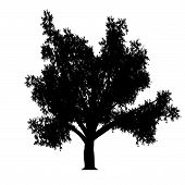 foto of linden-tree  - this an linden tree silhouette - JPG