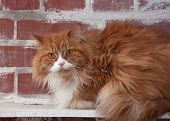 Haired Fluffy Cat On Brick Wall