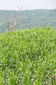 Corn Field In The Hills