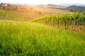 Green vineyard field at Italy.