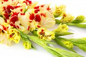 image of gladiolus  - Beautiful fresh colorful fresh red and yellow gladiolus isolated  - JPG
