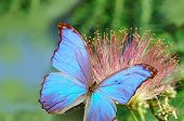 stock photo of butterfly flowers  - blue butterfly on pink flower on green background