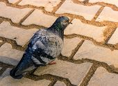 The rock pigeon