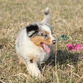 Puppy Of Australian Shepherd Dog Moving Outside