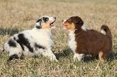 Puppies Of Australian Shepherd Dog Playing