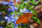 picture of florida-orange  - close up of a beautiful orange butterfly feeding on spring blue flowers in a garden