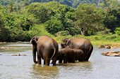 Elephants in river. Take in Pinawelle, Sri Lanka