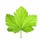 Black currant berry leaf isolated on white