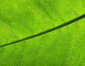 Green leaf macro background.