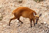 Picture Of Barking Deer In Chiang Mai Zoo