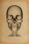 Illustration of human skull  on the old natural parchment