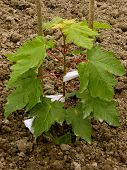 sugar maple sapling twelve-fourteen weeks from germination