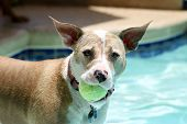 Dog by the pool with a ball