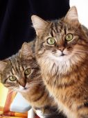 image of snoopy  - Two nosy cats are observing at the camera - JPG