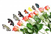Beautiful butterflies and red roses, isolated on white