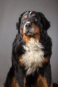 sad bernese mountain dog