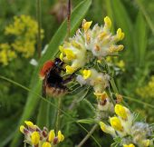 Moss Carder Bee