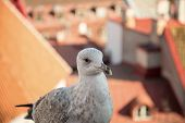fat  seagull on a viewing platform in Tallinn