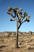 stock photo of desert animal  - The Mighty and Majestic Joshua Tree stands tall and strong against the desert sun and heat in the Joshua Tree National Forest and Mohave Desert - JPG