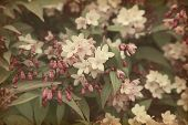 Old paper texture with light pint flowers. Deutzia. Toned image