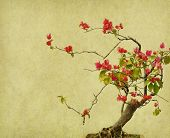 bougainvillea flower background