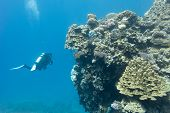 coral reef with stony corals and divers at the bottom of tropical sea on blue water background