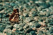 Butterfly On Rough Pavement.