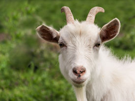 stock photo of goat horns  - White goat with horns and a beard closeup - JPG