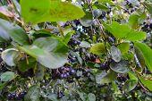 Black currant. Ribes nigrum