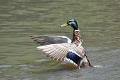 Mallard Duck About To Take Off From Water