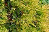 Cupressocyparis Leylandii Green Background