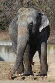 Indian elephants (Elephas maximus indicus).