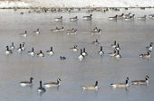 Flock Of Canada Geese Resting On A Winter Lake