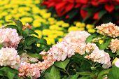 Hydrangea flowers,Laurustinus flowers