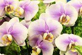 Phalaenopsis flowers,Moth Orchid flowers