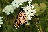 monarch adult62