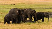 An elephant family strolling the lush green fields of a Sri Lanka