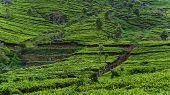 Terraces of the lipton tea estate in Haputale, Sri Lanka