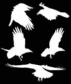 illustration with set of five crow silhouettes isolated on black background