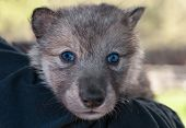 pic of lupus  - Grey Wolf Pup  - JPG