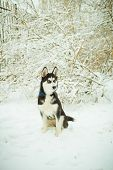Husky puppy dog on snow