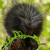 Porcupette (erethizon Dorsatum) Chews On Fern